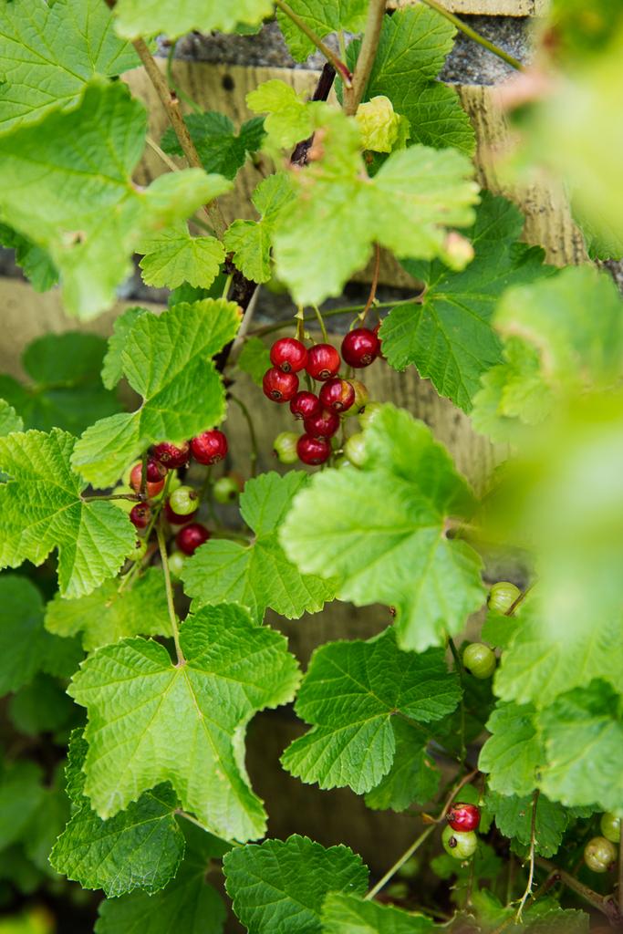 Detaljbild - vinbär från trädgården