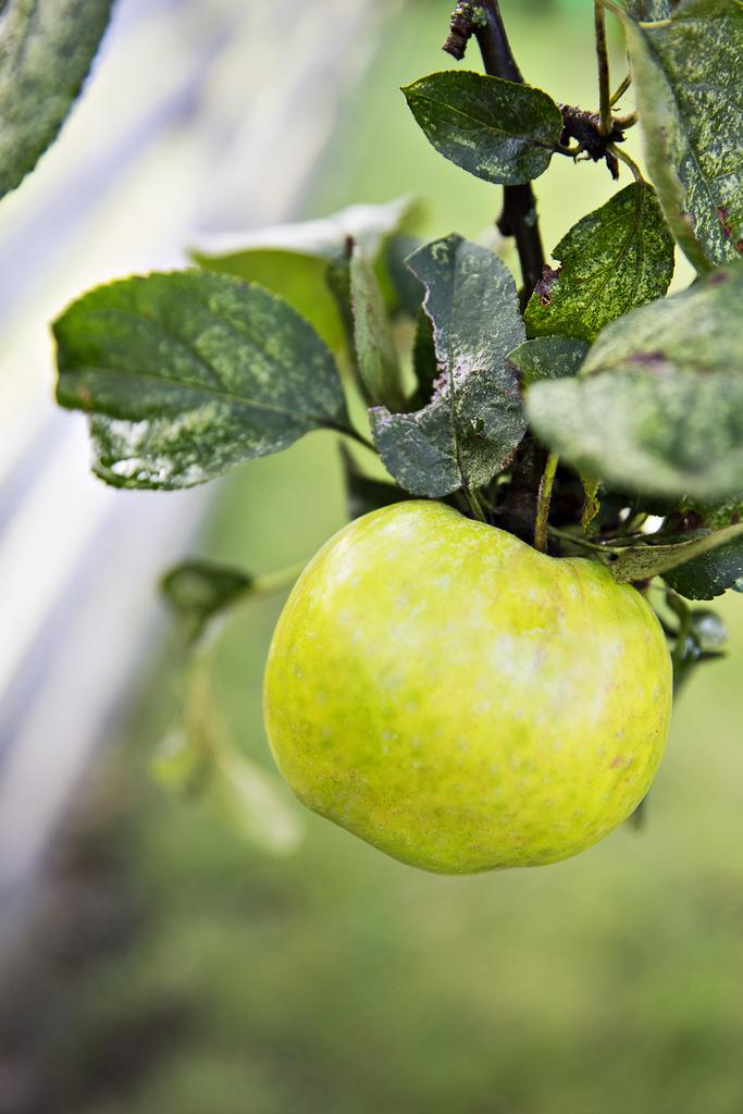 ... med ett äppleträd